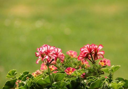 Flowers, Plant, Planting, Balcony, Flowerpot, Red