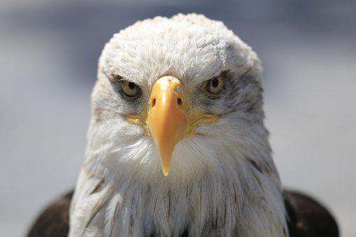 Adler, Bill, Bald Eagle, Bird Of Prey, Raptor