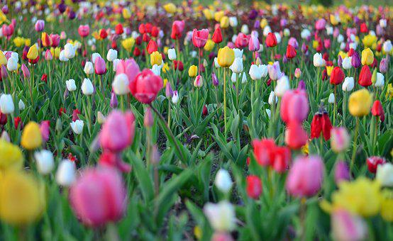 Tulips, Red, Vivid Color, Nature, Turkey, Spring, Plant