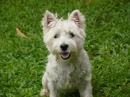 Dog, West Highland Terrier, Terrier, Animal, Pet, Cute