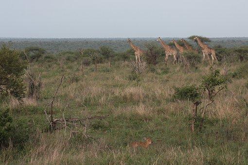 Africa, Safari, Wildlife, Giraffe, Travel