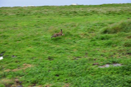 Rabbit, Hare, Ireland, Hopping, Animal, Cute, Easter