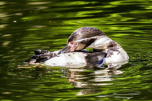 Penguin, Water Bird, Bird, Nature, Animal