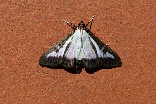 Butterfly, Boxwood Borer, Book Tree Caterpillar, Pest