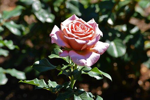 Rose, Chicago Botanic Gardens, Flowers, Nature, Pink