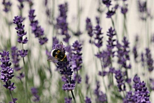 Lavender, Fictional, Hummel, Lavender Flowers, Violet