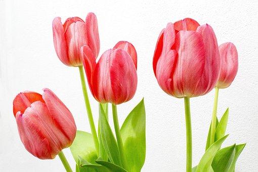 Tulip, Flowers, Nature, Flower, Spring, Botanist