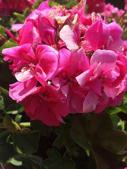 Flower, Pink, Geranium