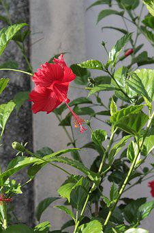 Hibiscus, Red, Flower