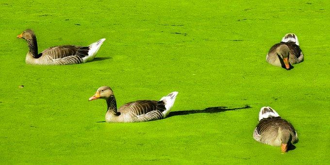 Animals, Ducks, Water Bird, Nature, Water, Green