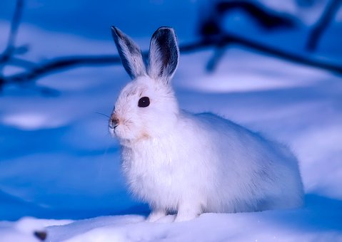 Arctic, Rabbit, Canada, Wildlife, Animal, Hare, Closeup