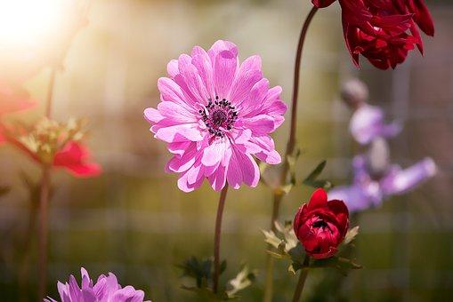 Anemone, Pink, Anemone Pink, Blossom, Bloom
