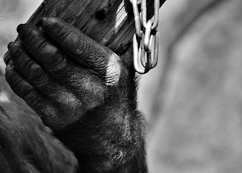 Hand, Monkey, Gorilla, Animal World, Black And White