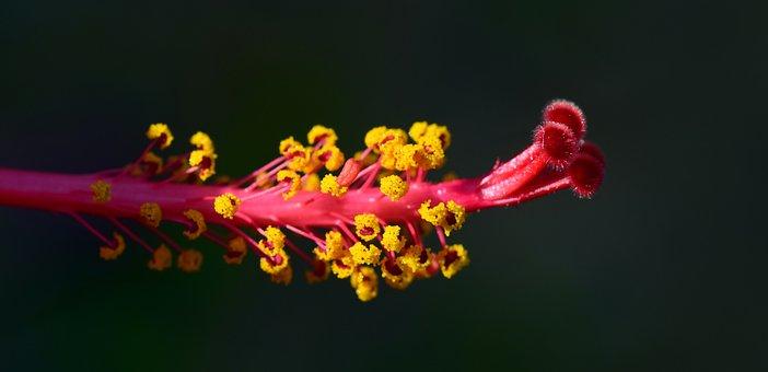 Hibiscus, Pistil, Blossom, Bloom, Mallow, Red, Flower