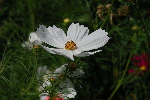 Flower, White, Cosmos, Garden, Summer