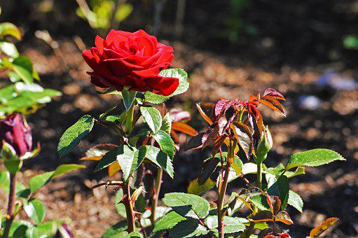 Red Rose, Chicago Botanic Gardens, Flowers, Nature, Red