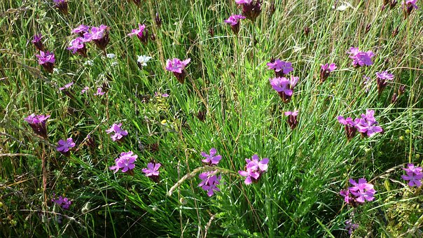 Campion, Flowers, Reported, Wild Flower, Often