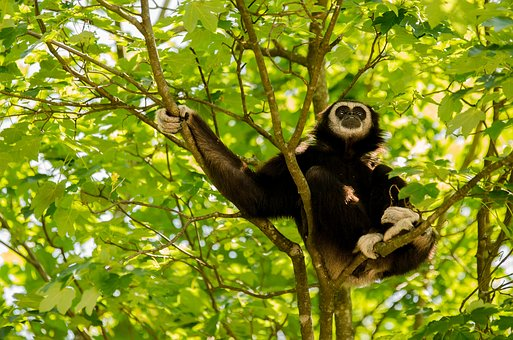 Gibbon, White-handed Gibbon, Primate, Monkey, Tree, Sit