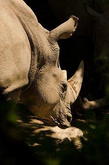 Rhino, White Rhino, Rhinoceros, Pachyderm, Horn, Mammal