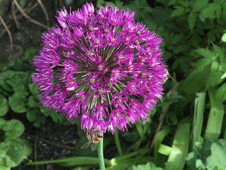 Jewelry Lady, Ornamental Onion, Allium, Blossom, Bloom