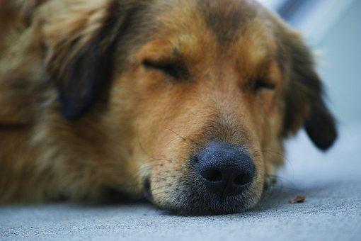 Dog, Sleep, Brown, Animal, Asleep, Feather, Macro