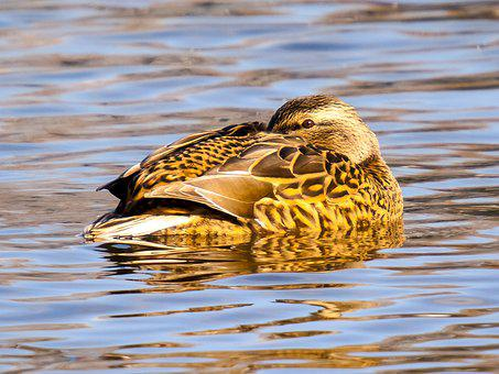 Mallard, Duck, Bird, Water Bird, Nature, Animal