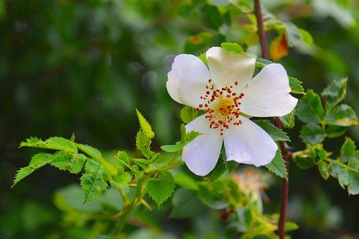 Wild Rose, Wood Anemone, Rose Plant, Dog Rose