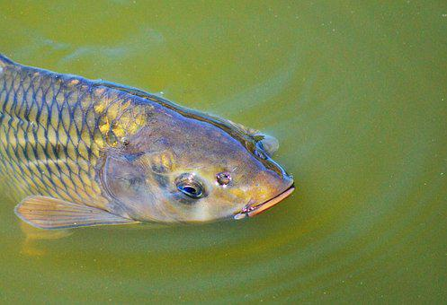 Carp, Fish, Appear, Swim, Pond, Water, Water Surface