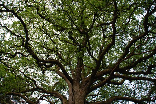 Tree, Branch, Majestic, Forest, Leaf, Centenary