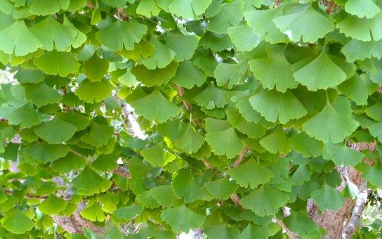 Ginko Biloba, Leaf, Tree, Medicine, Living Fossil
