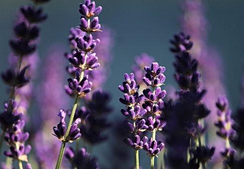 Lavender, Purple, Violet, Lavender Flowers, Flower