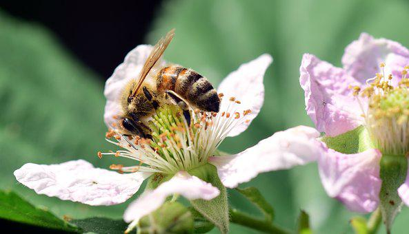 Bee, Blackberry, Sprinkle, Insect, Close, Summer