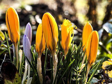 Crocus, Flower, Plant, Blossom, Bloom, Nature