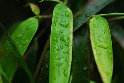 Bamboo, Leaf, Green, Nature, Foliage, Garden, Tree