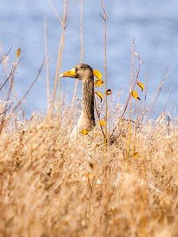 Goose, Geese, Greylag Goose, Bird, Water Bird, Nature
