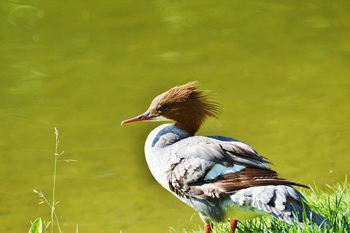 Merganser, Ducks, Waterfowl, Bird, Poultry, Animal