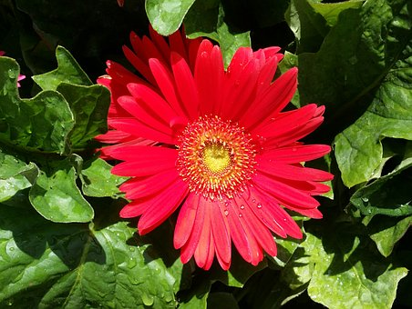 Gerber, Daisy, Red, Dew, Spring, Bloom, Color, Nature