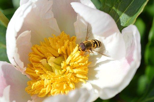 Peony, White, Wasp, Nectar