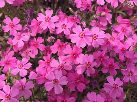 Flowers, Passion, Pink, Hot Pink