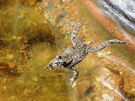 Frog, Toad, Amphibians, Pond