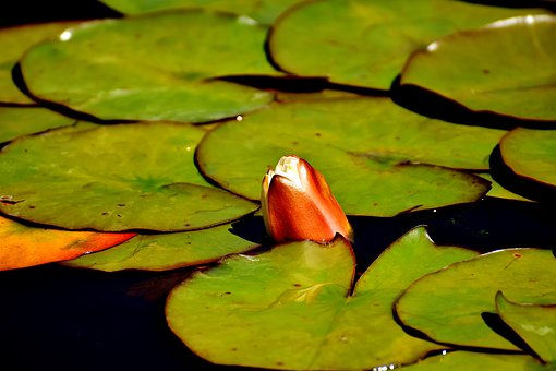 Water Lily, Water, Plant, Pond, Blossom, Bloom