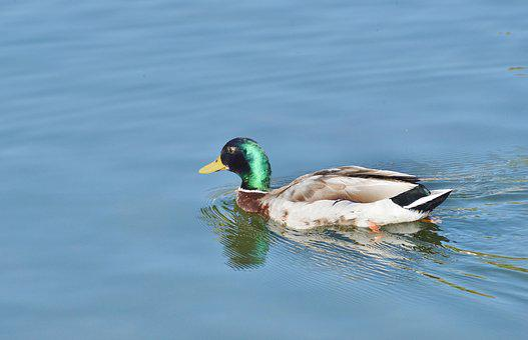 Ducks, Waterfowl, Bird, Poultry, Animal, Meadow, Drake
