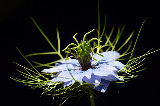 Virgin In The Green, Nigella Damascena