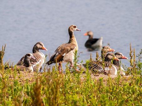 Goose, Geese, Greylag Goose, Nilgans, Bird, Water Bird