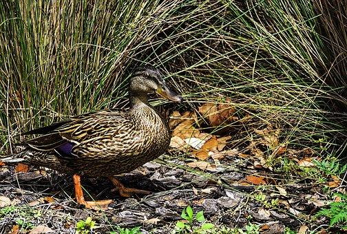 Duck, Wild Life, Park, Wild, Nature, Animal, Bird