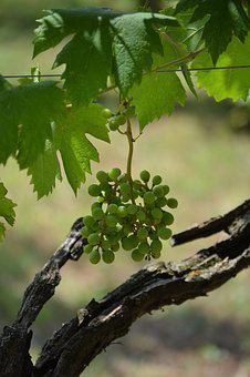 Grape, Tree, Italy, Nature, Agriculture, Green