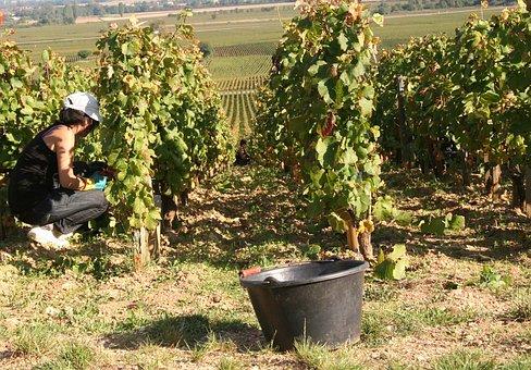 Vines, Burgundy, Vineyard, Harvest