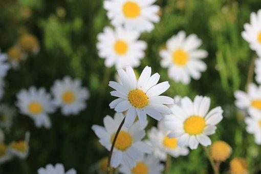 Daisy, Green, Flower, Nature, Beautiful, Flowers, Plant