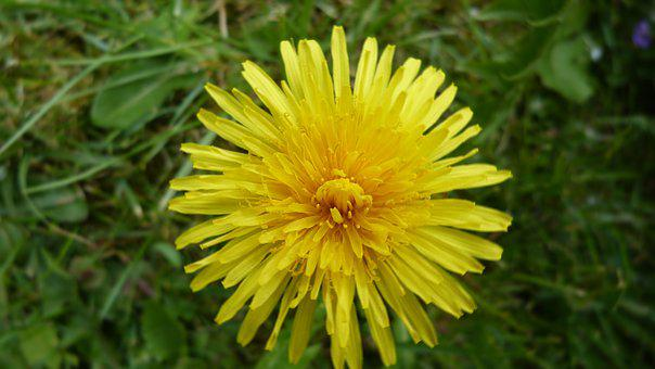 Dandelion, Yellow Flower, Pointed Flower, Weed