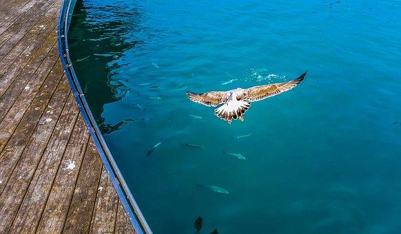 Seagull, Bird, Dive, Hunt, Prey, Eat, Fish, School